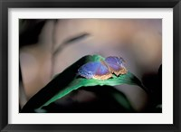 Framed Colorful Butterfly Wings, Gombe National Park, Tanzania