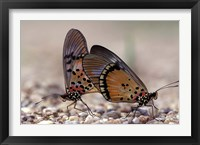 Framed pair of Butterflies, Gombe National Park, Tanzania