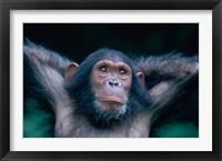 Framed Female Chimpanzee Stretching, Gombe National Park, Tanzania