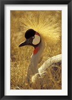 Framed African Crowned Crane, South Africa