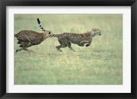 Framed Cheetah Cub Playing on Savanna, Masai Mara Game Reserve, Kenya