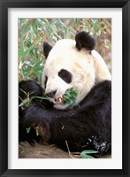 Framed China, Wolong Nature Reserve, Giant panda bear