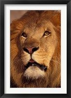Framed Closeup of a Male Lion, South Africa