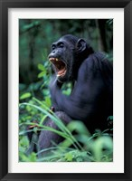 Framed Female Chimpanzee Yawning, Gombe National Park, Tanzania