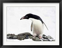 Framed Adelie Penguin (Pygoscelis Adeliae) at Paulet Island, Antarctica