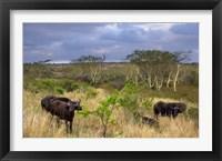 Framed Cape Buffalo, Zulu Nyala Game Reserve, Hluhluwe, Kwazulu Natal, South Africa
