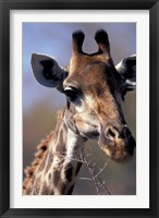 Framed Close-up of Giraffe Feeding, South Africa
