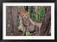 Framed Cheetah Cubs, Phinda Preserve, South Africa