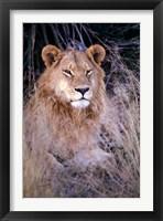 Framed African Lion, Botswana