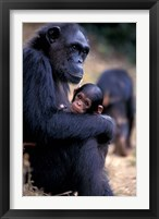 Framed Female Chimpanzee Cradles Newborn Chimp, Gombe National Park, Tanzania