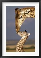 Framed Giraffe, Masai Mara, Kenya
