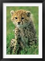 Framed Cheetah, Tanzania, Serengeti NP, Cheetah cub
