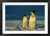 Framed Emperor Penguins, Mt. Melbourne, Antarctica