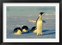 Framed Emperor Penguins, Antarctica, Atka Bay, Weddell Sea