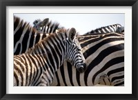Framed Black and White Stripe Pattern of a Plains Zebra Colt, Kenya