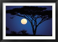 Framed Acacia Tree in Moonlight, Tarangire, Tanzania