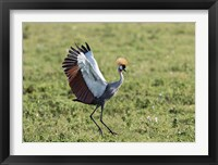 Framed Africa, Tanzania, Ngorongoro Crater. Grey Crowned Crane dancing.