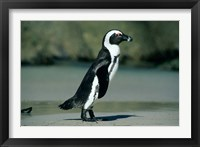 Framed African Penguin, Cape Peninsula, South Africa