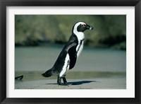 Framed African Penguin, Cape Peninsula, South Africa