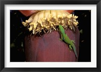 Framed Day Gecko, Ranamofana, Madagascar