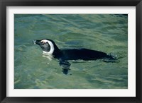Framed African Penguin swimming, Cape Peninsula, South Africa