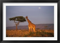 Framed Giraffe Feeding on Savanna, Masai Mara Game Reserve, Kenya