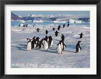 Framed Adelie Penguins, Devil Island, Antartica