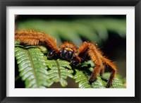 Framed Close-up of Tarantula on Fern, Madagascar