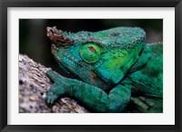 Framed Chameleons in the Analamazaotra National Park, Madagascar