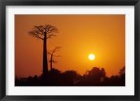 Framed Baobab Avenue at Sunset, Madagascar