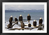 Framed Bald Eagles in Winter, Homer, Alaska