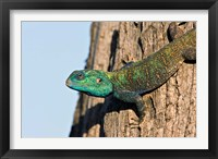 Framed Green-Headed Agama Lizard, Tanzania