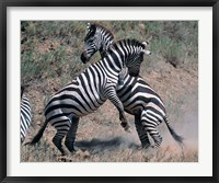 Framed Fighting Burchell's Zebra, Serengeti, Tanzania