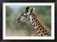 Framed Close-up of Masai Giraffe, Tanzania