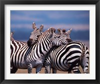 Framed Group of Zebras, Masai Mara, Kenya