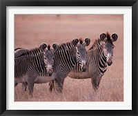 Framed Grevy's Zebra, Masai Mara, Kenya