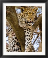 Framed Africa. Tanzania. Leopard in tree at Serengeti NP