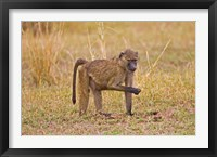 Framed Baboons near the bush in the Maasai Mara, Kenya