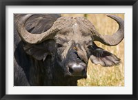 Framed Cape Buffalo with a Yellow-Billed Oxpecker, Kenya