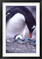 Framed Gentoo Penguin on Nest, Antarctica