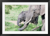 Framed African bush elephant calf eating in Maasai Mara, Kenya