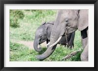 Framed African bush elephant calf eating in Maasai Mara, Kenya