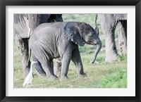 Framed African bush elephant calf in Amboseli National Park, Kenya