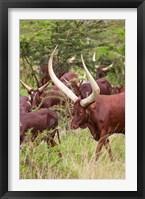 Framed Close Up of Ankole-Watusi cattle, Mbarara, Ankole, Uganda