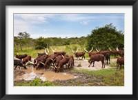 Framed Ankole-Watusi cattle. Uganda
