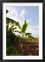 Framed Banana Agriculture, Rift Valley, Ethiopia