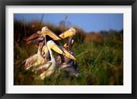 Framed Botswana, Okavango Delta. Pink-backed Pelican birds