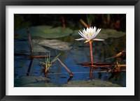 Framed Botswana, Okavango Delta. Water Lily of the Okavango
