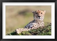 Framed Cheetah, Kenya