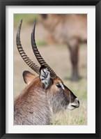 Framed Defassa Waterbuck, Maasai Mara, Kenya